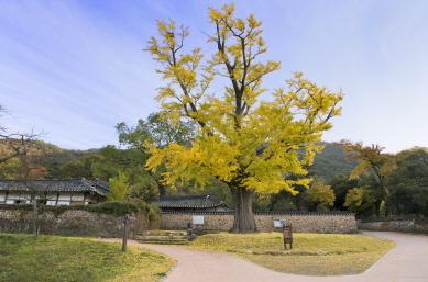 녹우당 은행나무